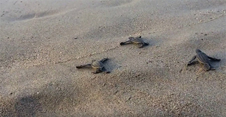 Trinidad-Tobago-Leatherback-Turtles small
