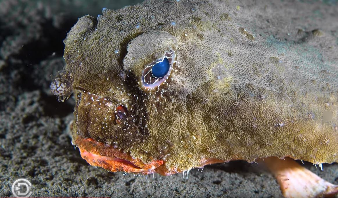 Red-lipped Batfish Dominica
