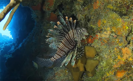 Cayman-Islands-Diving-Lionfish-Culling-small